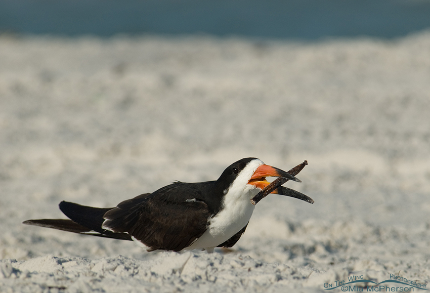 Black Skimmer twirling a Mangrove seed pod