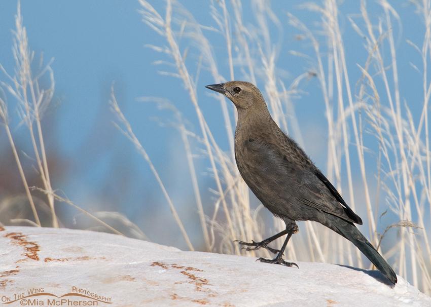 Brewer's Blackbird female