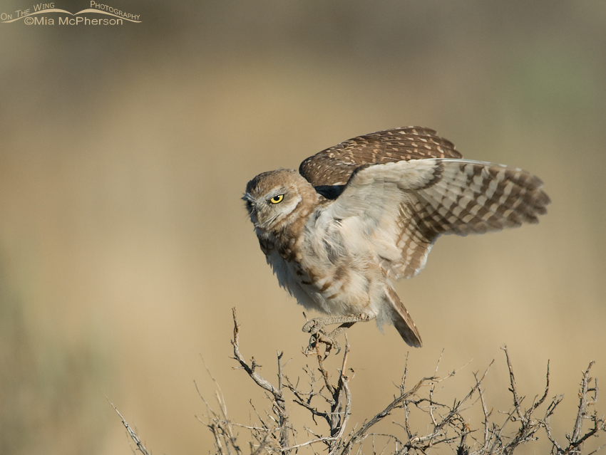 Juvenile Burrowing Owl (Athene cunicularia) flapping its wings