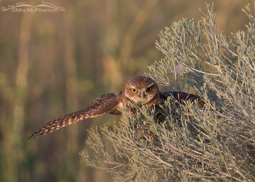 Fledgling Burrowing Owl