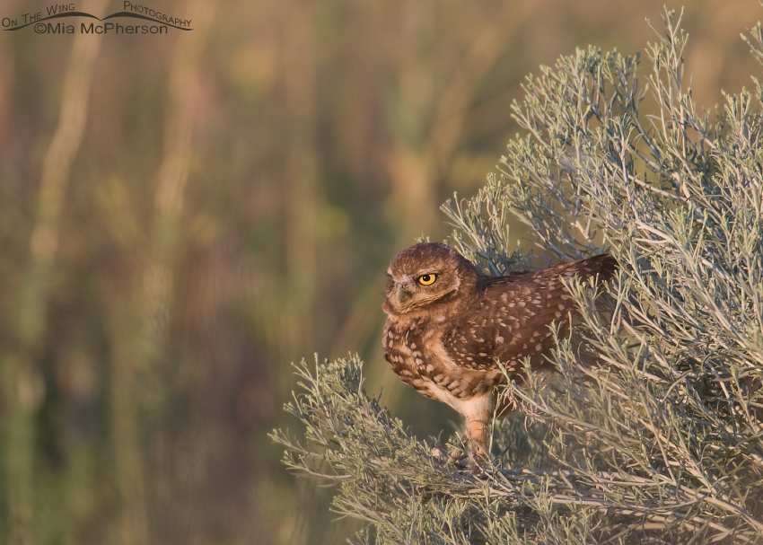 Juvenile Burrowing Owl in a Rabbitbrush