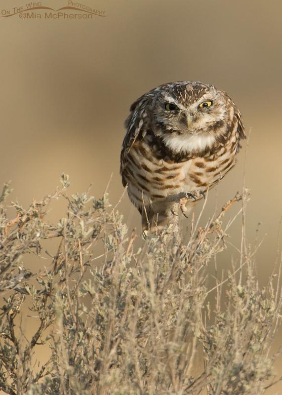 A ferocious looking juvenile Burrowing Owl