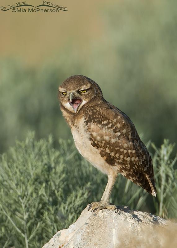 Yawning juvenile Burrowing Owl