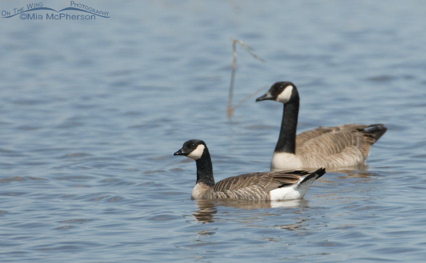 Cackling Goose with Canada Goose