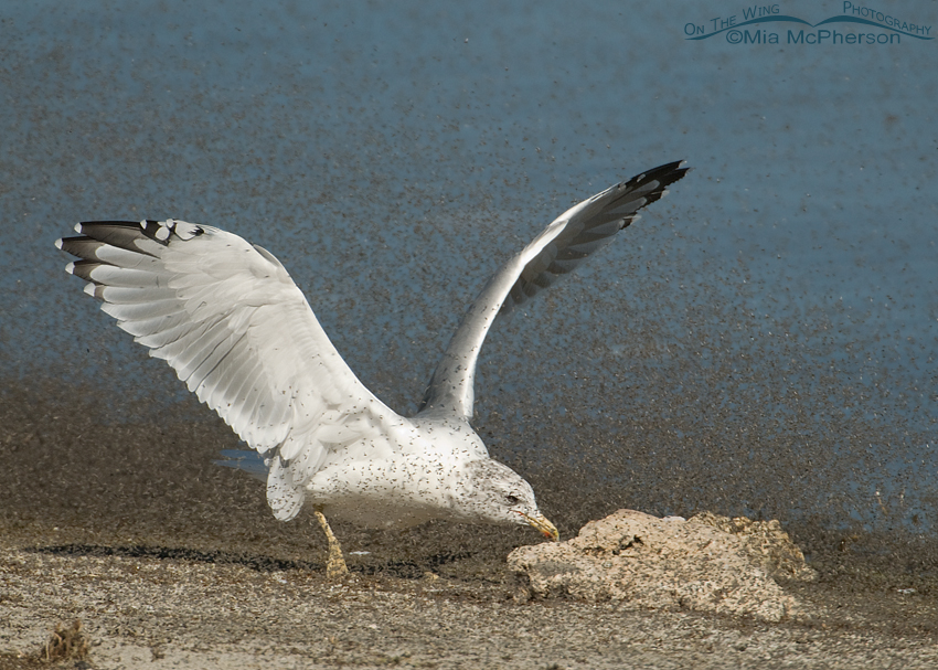 California Gull chasing brine flies with its wings up