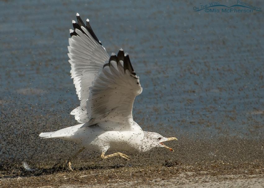California Gull running after brine flies