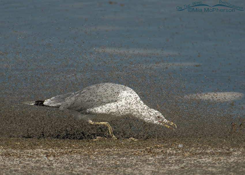 California Gull hunched down chasing brine flies