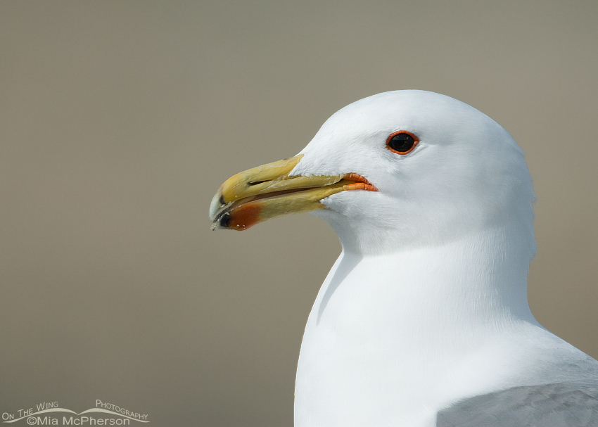 California Gull Portrait