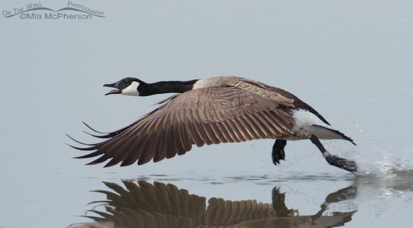 Canada Goose lift off