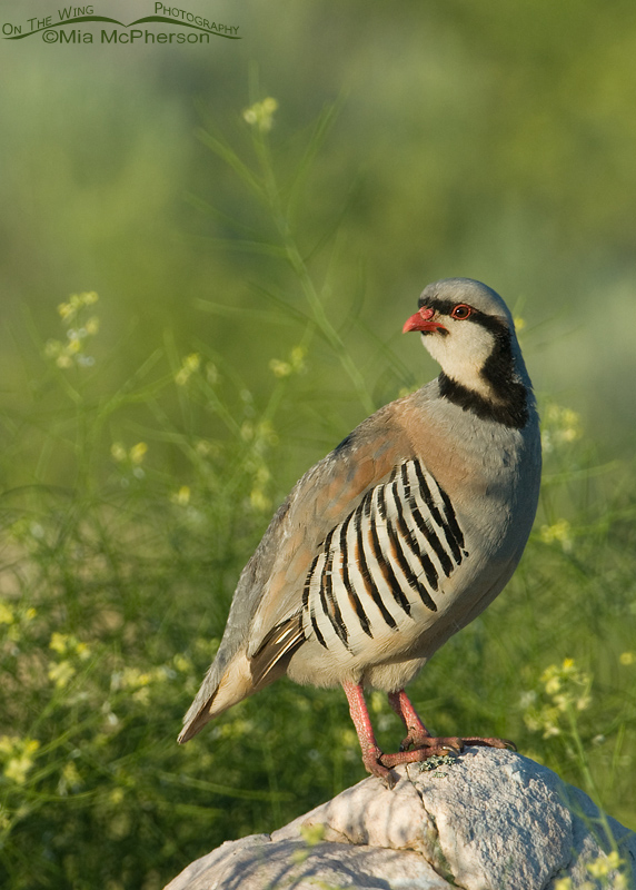 Adult Chukar in front of Black Mustard