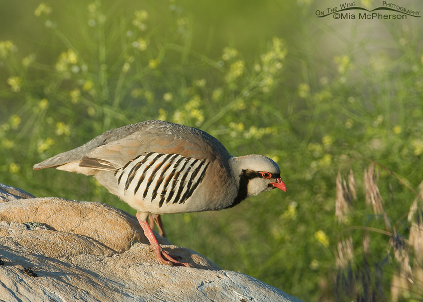 Chukar walking down a boulder
