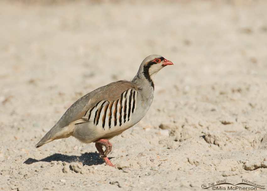 Chukar running across the Oolitic Sand of the Great Salt Lake
