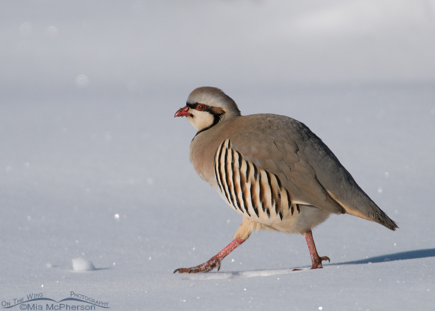 Chukar on a bright winter day
