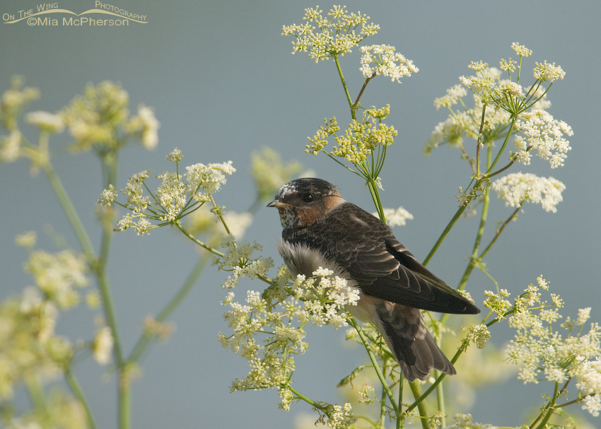 Juvenile Cliff Swallow (pale-throated variant)