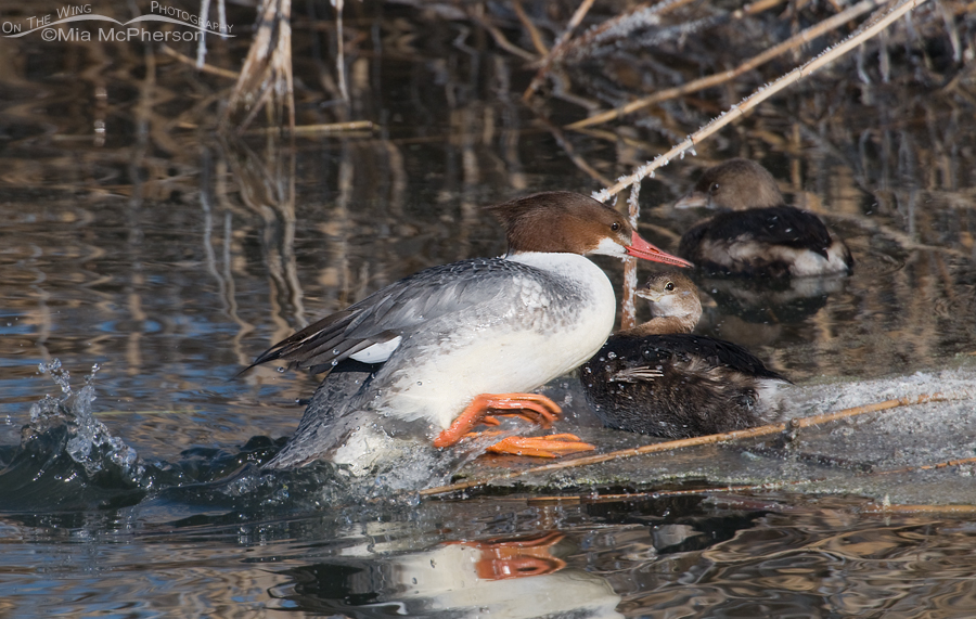 Common Merganser getting out of the water