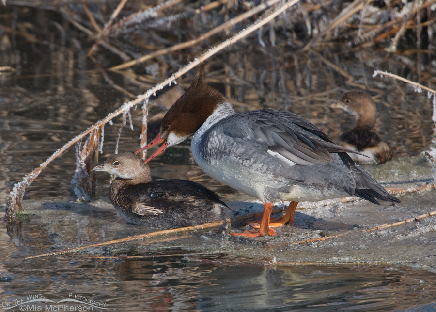 Common Merganser biting a Pied-billed Grebe
