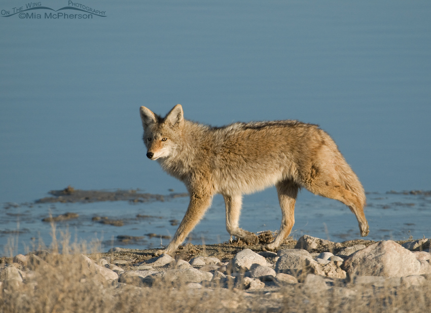 Coyote on the go with the Great Salt Lake in the background