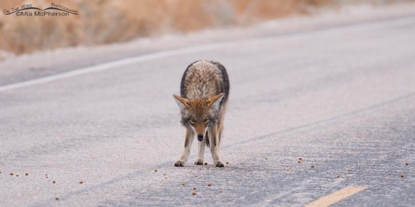 Baited Coyote