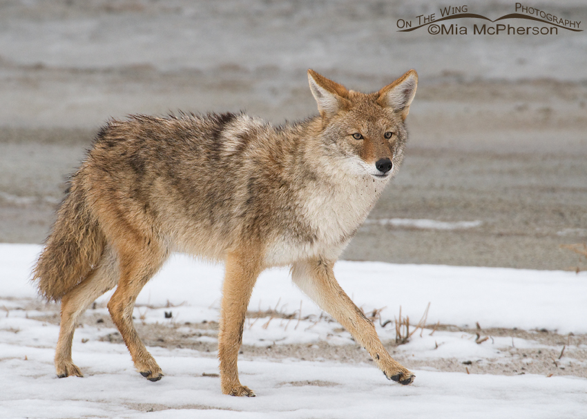 Coyote after an October snow