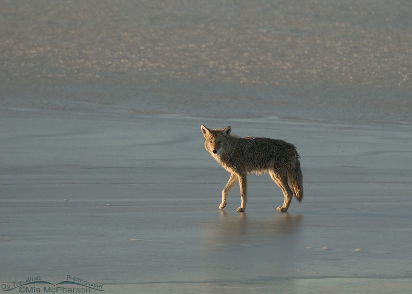Side lit Coyote on ice