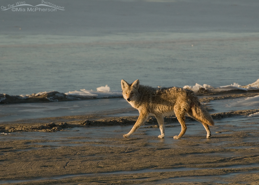 Side lit Coyote on the shoreline