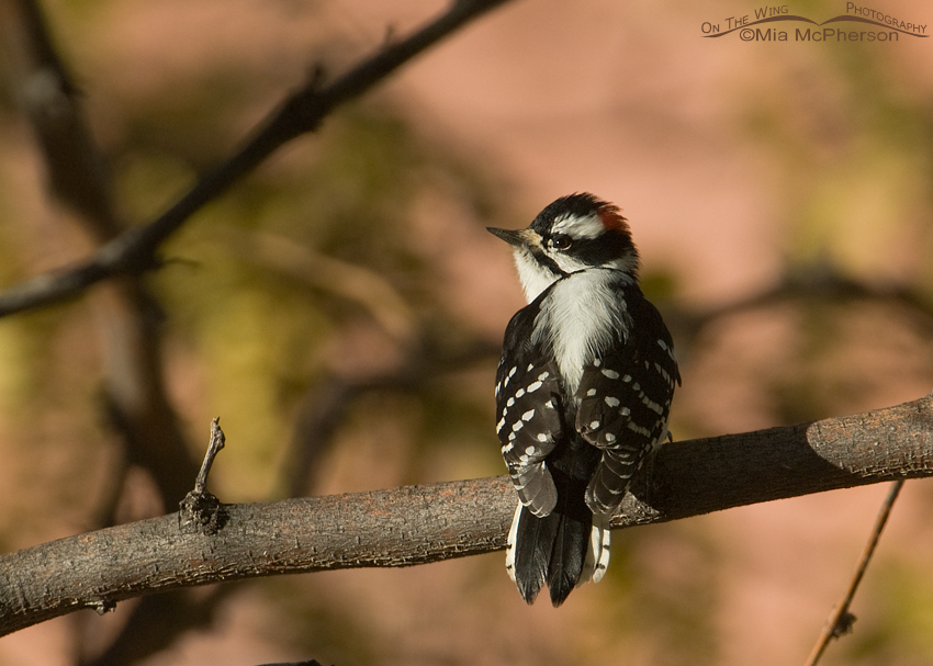 Downy Woodpecker at Capitol Reef National Park