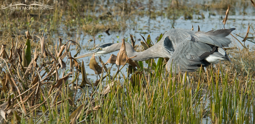 Great Blue Heron hunting in a wetlands