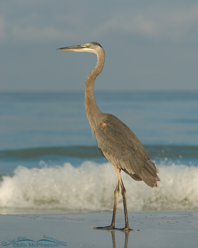 Long & Lean Great Blue Heron