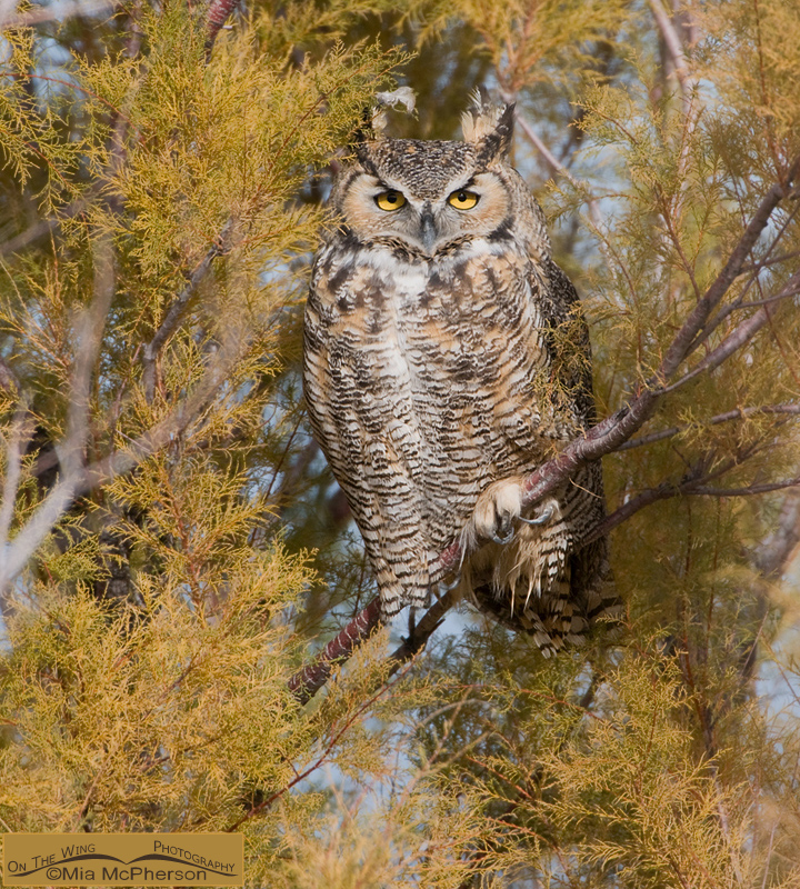 Great Horned Owl - Tiger of the Sky