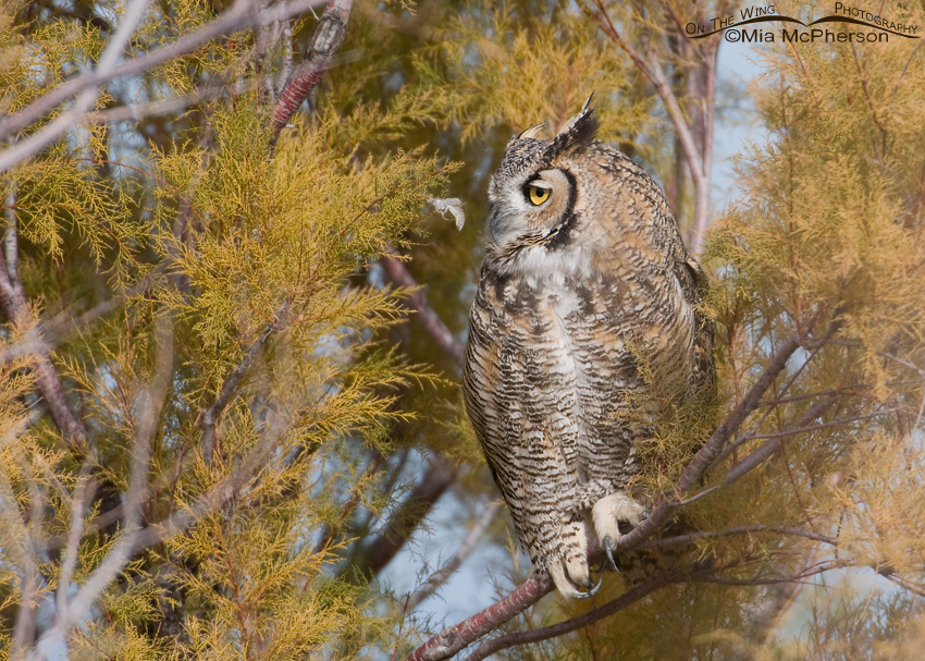 Great Horned Owl (Bubo virginianus) adult
