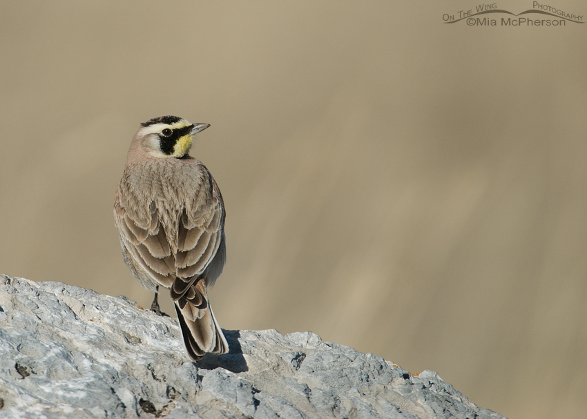 Male Horned Lark back view