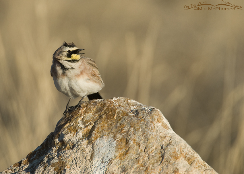 Male Horned Lark singing on a rock