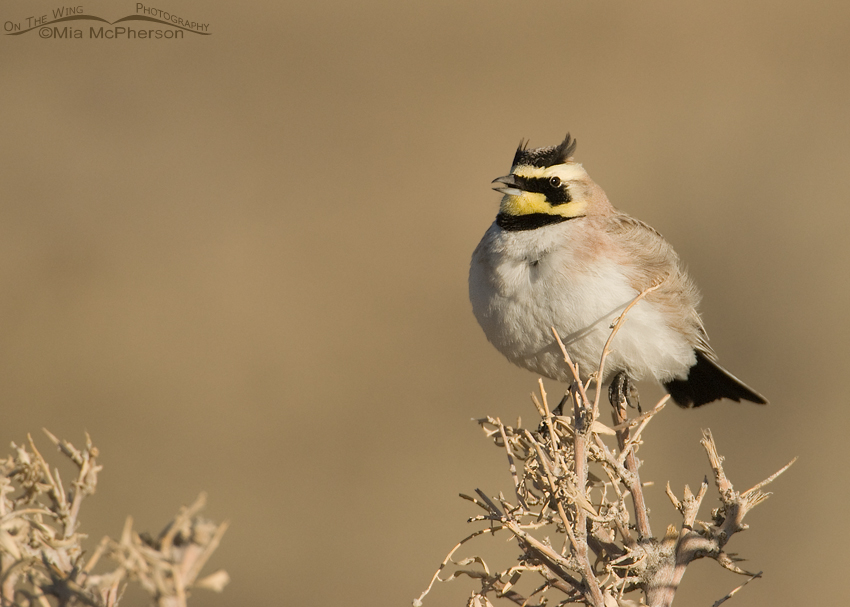Horned Lark male singing on a shrub