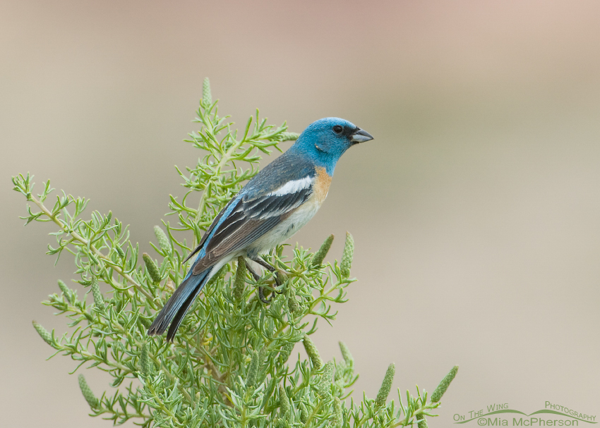 Lazuli Bunting male perched on Greasewood