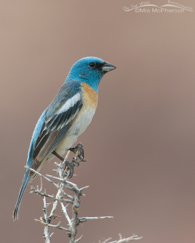 Lazuli Bunting male with Navajo and Entrada sandstone in the background