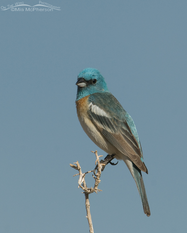 Lazuli Bunting with sky in the background