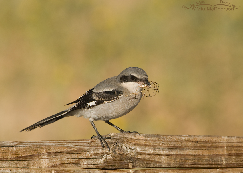 Juvenile Loggerhead Shrike with spider