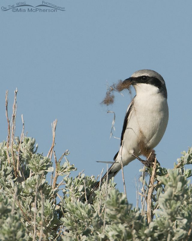 Loggerhead Shrike with bison fur