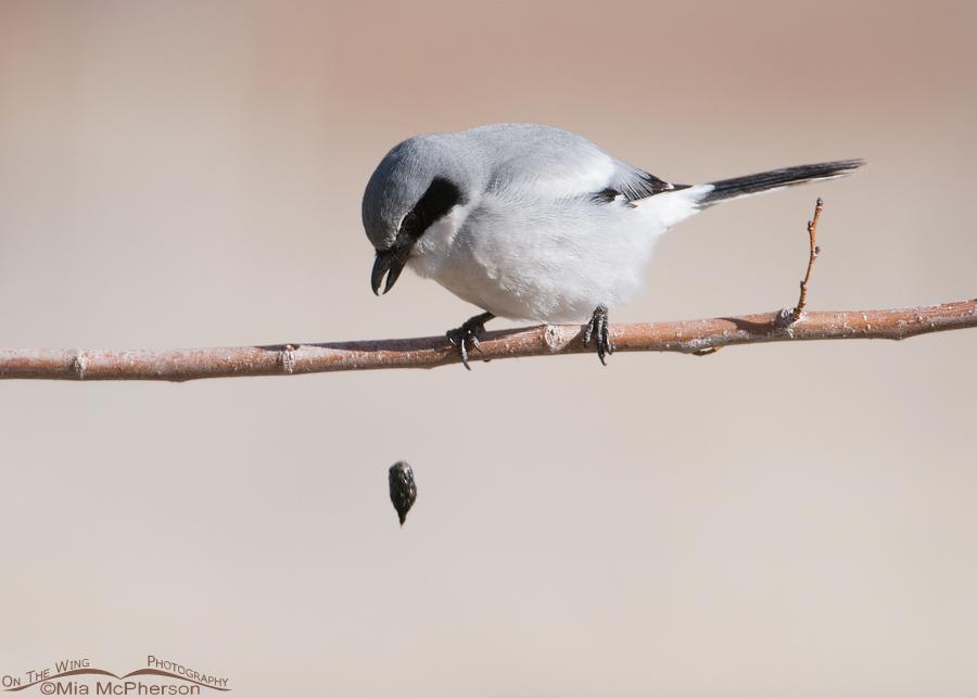 Loggerhead Shrike ~ pellet expulsion completed