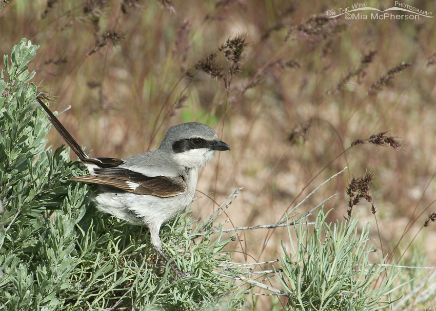 Loggerhead Shrike perched on sagebrush