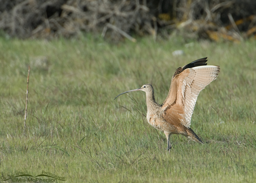 Long-billed Curlew wing lift