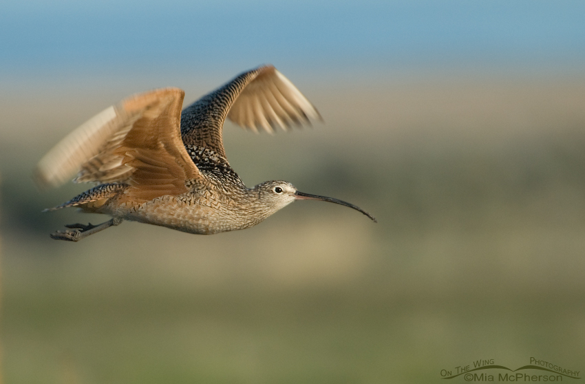 Young male Long-billed Curlew in flight