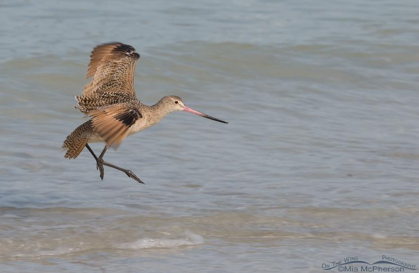 Landing Marbled Godwit pano