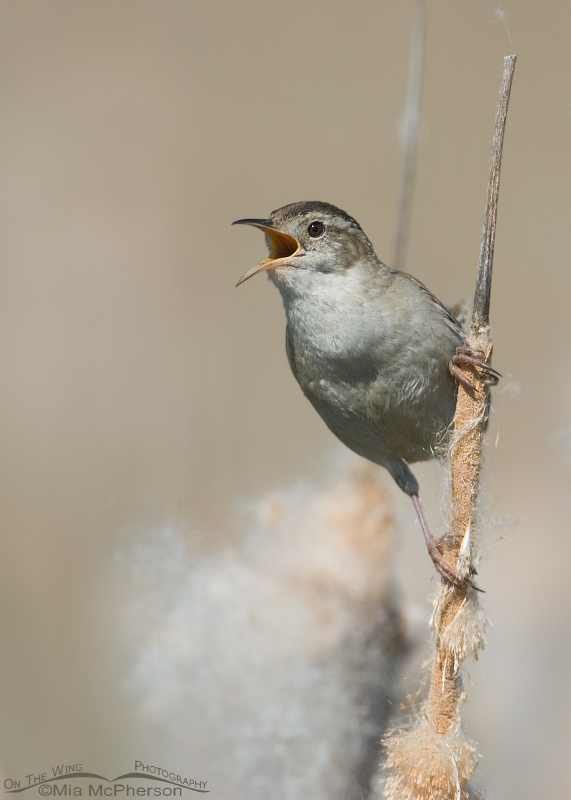 Marsh Wren calling on cattails