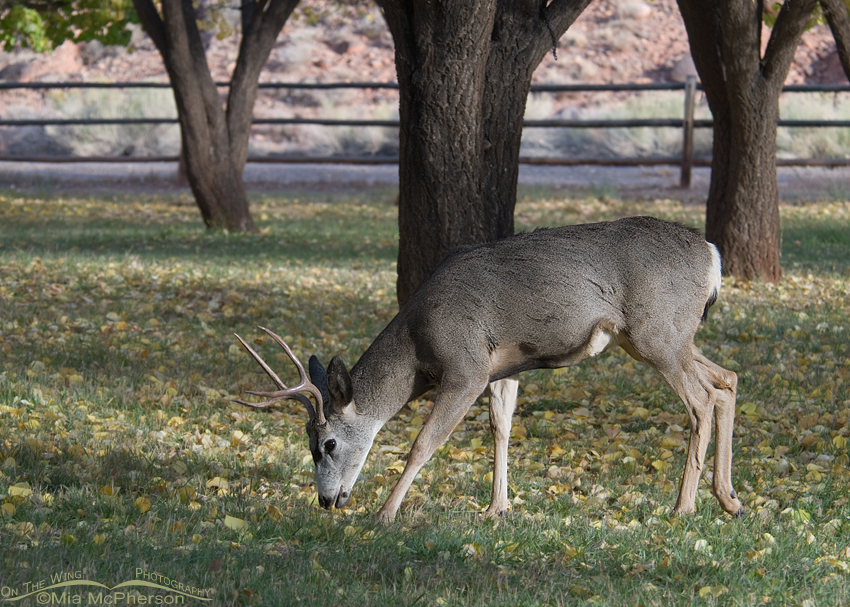 Mule Deer at Capitol Reef National Park