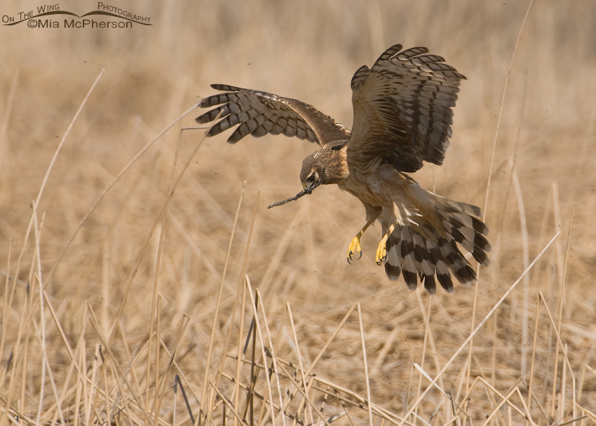 Female Northern Harrier hovering