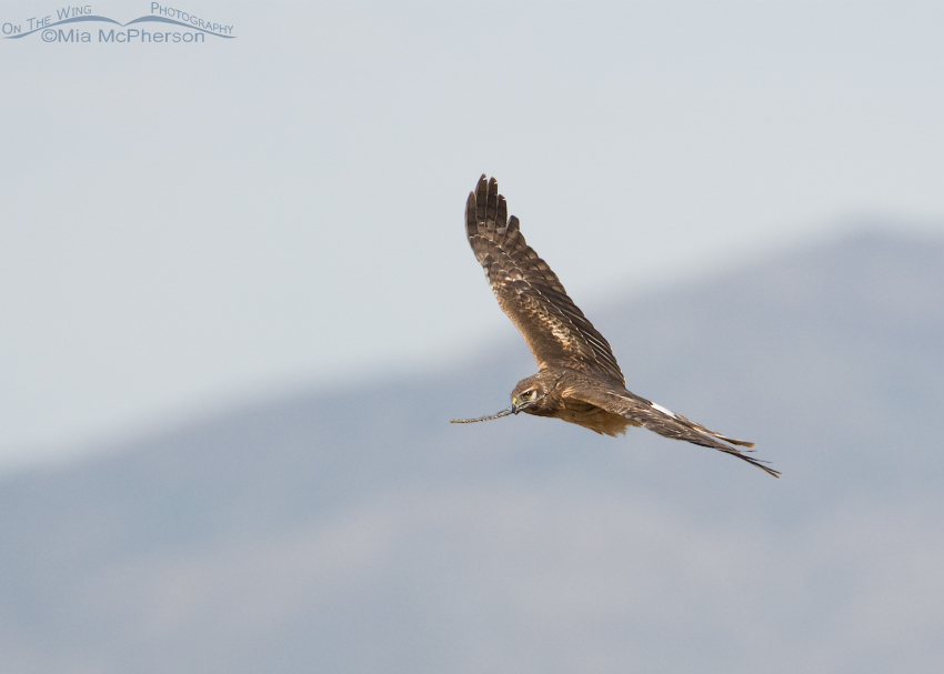 Northern Harrier female circling with nesting material