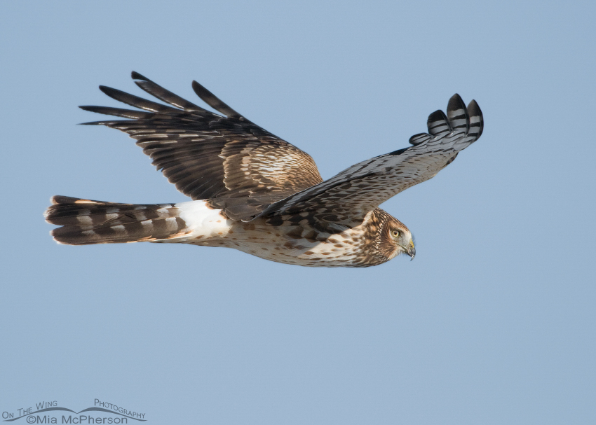 Eye level with a Northern Harrier