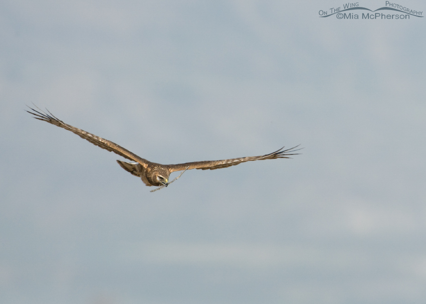 Female Northern Harrier making approach to the nest