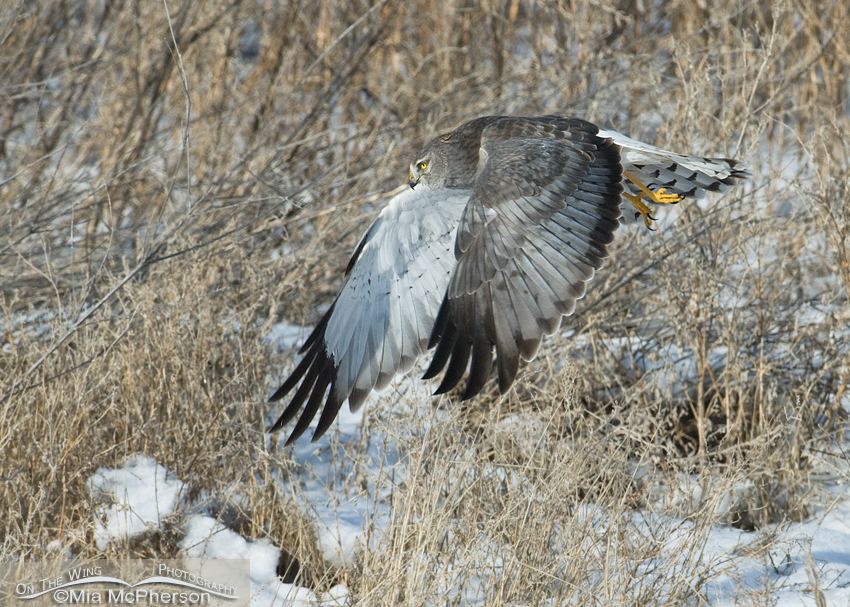The Gray Ghost - Northern Harrier male